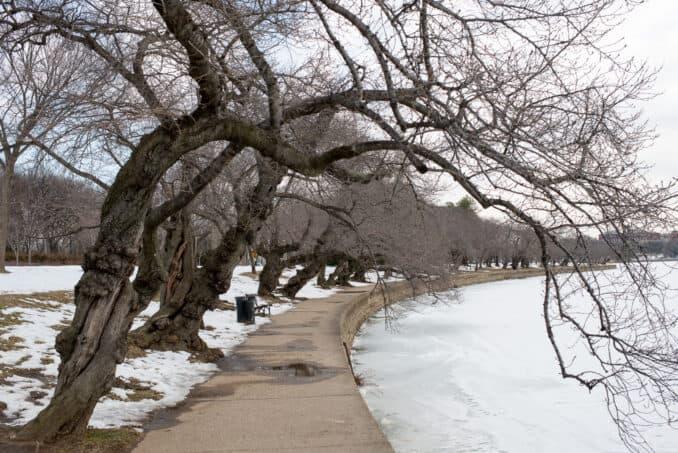 Cherry Blossoms - February 27, 2015