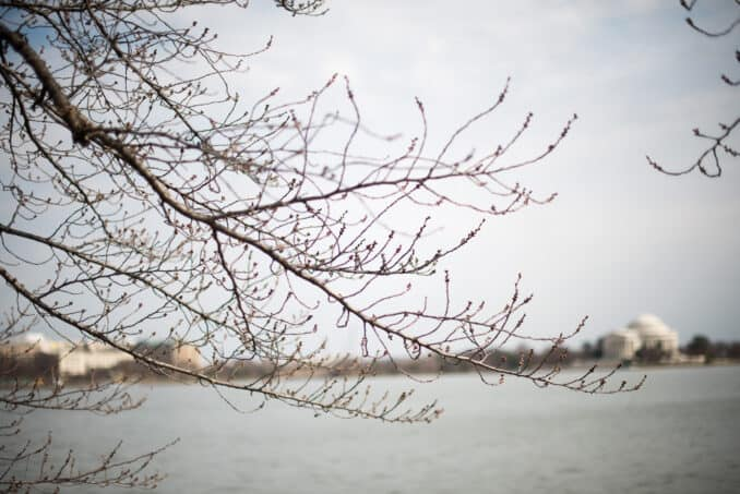 Cherry Blossoms March 24, 2015