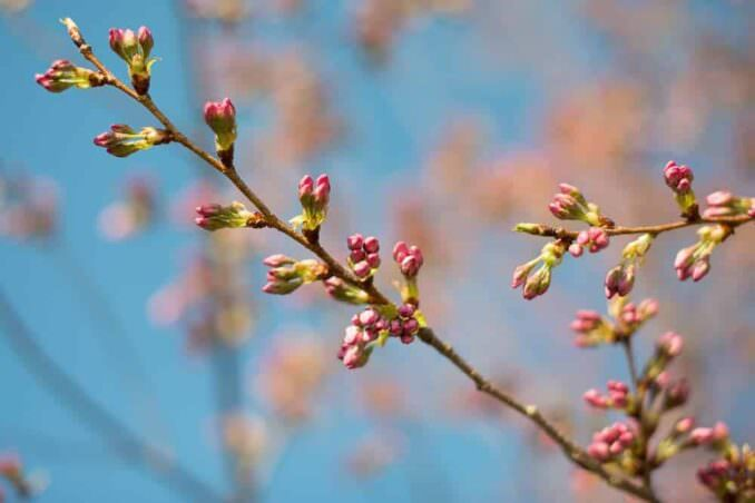 Cherry Blossoms on April 3, 2013