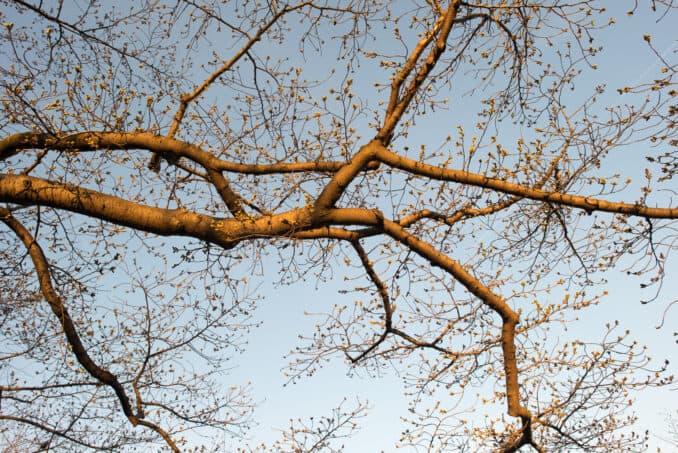 Cherry Blossom Indicator Tree - April 2, 2015