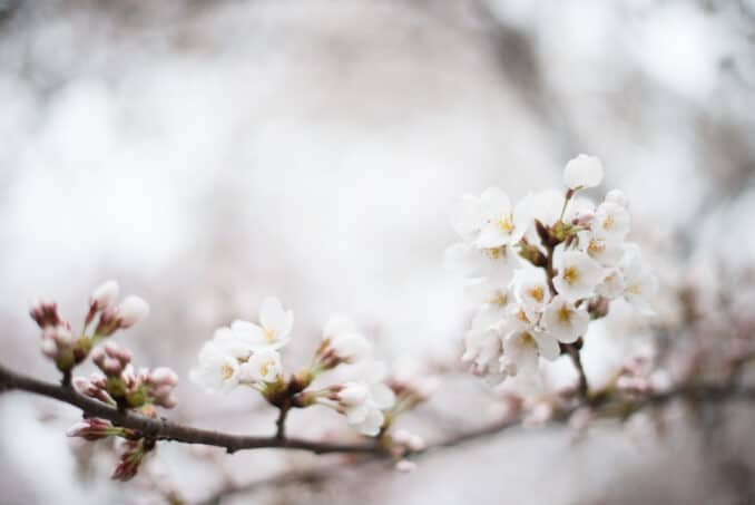 Cherry Blossoms April 10, 2015