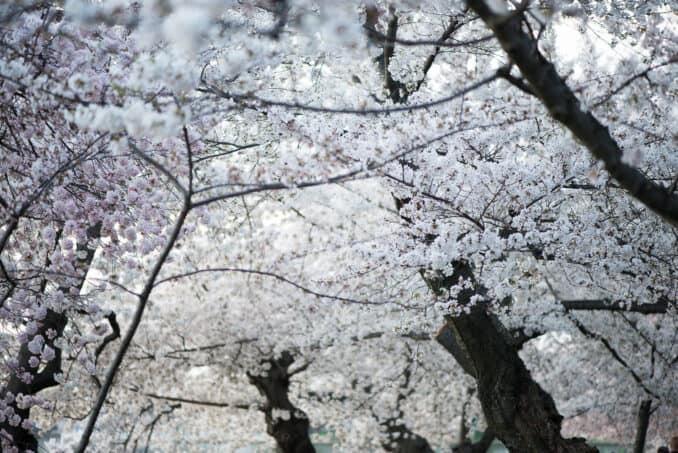 Cherry Blossoms April 11, 2015