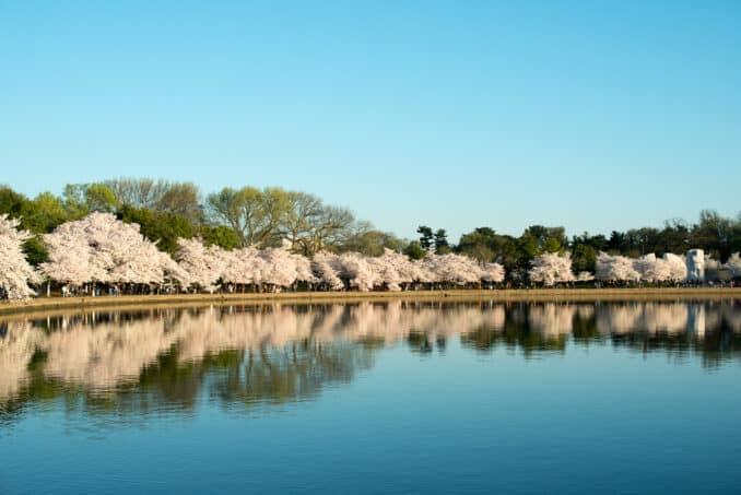 Cherry Blossoms - April 12, 2015