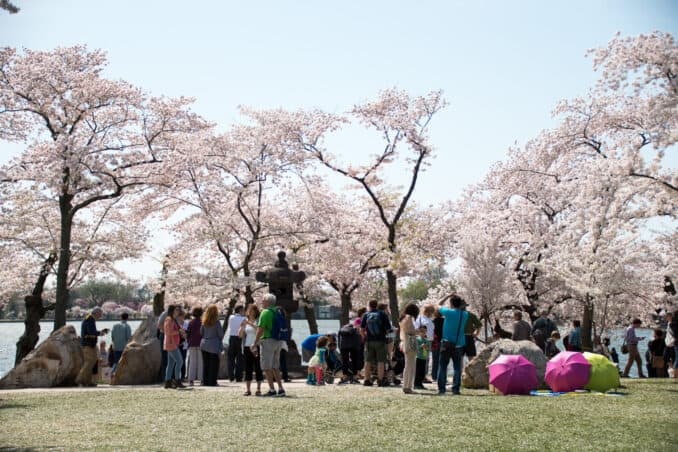 Cherry Blossoms - April 13, 2015