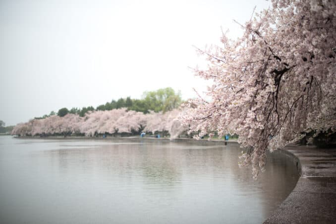 Cherry Blossoms - April 14, 2015