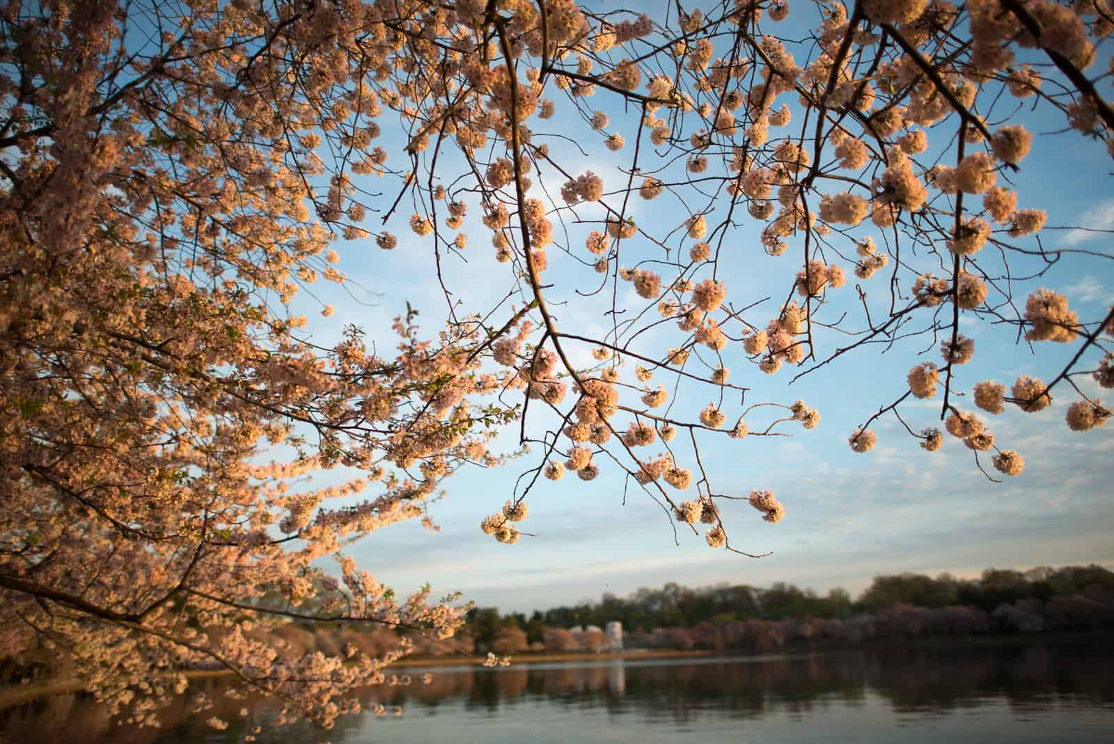 Cherry Blossoms April 16, 2015
