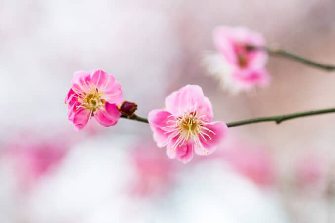 Cherry Blossoms - April 2, 2015