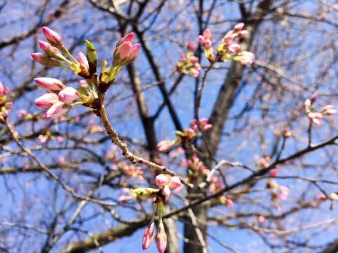 Cherry Blossoms - April 6, 2015