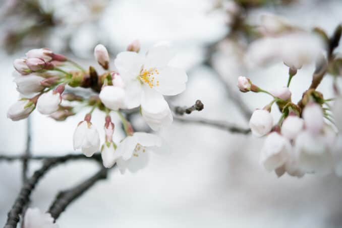 Cherry Blossoms - April 8, 2015