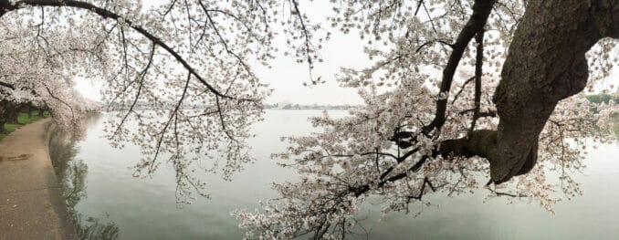 Cherry Blossoms April 9, 2015