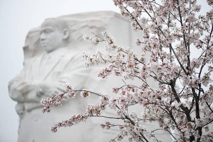 Cherry Blossoms - April 9, 2015