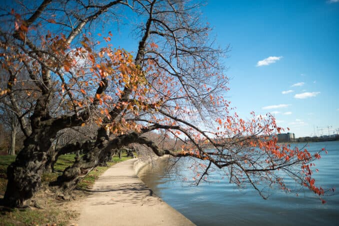 Washington DC Cherry Blossoms - 23 November 2015