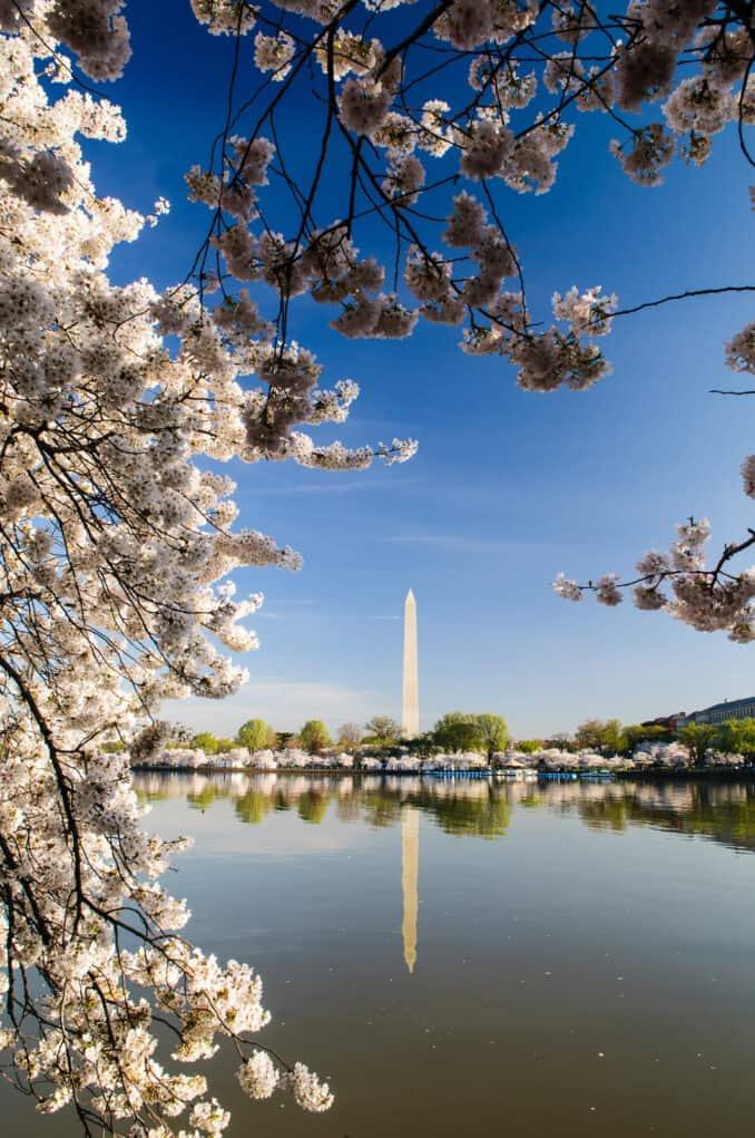 Washington Cherry Blossoms Framing the Washington Monument with Reflection