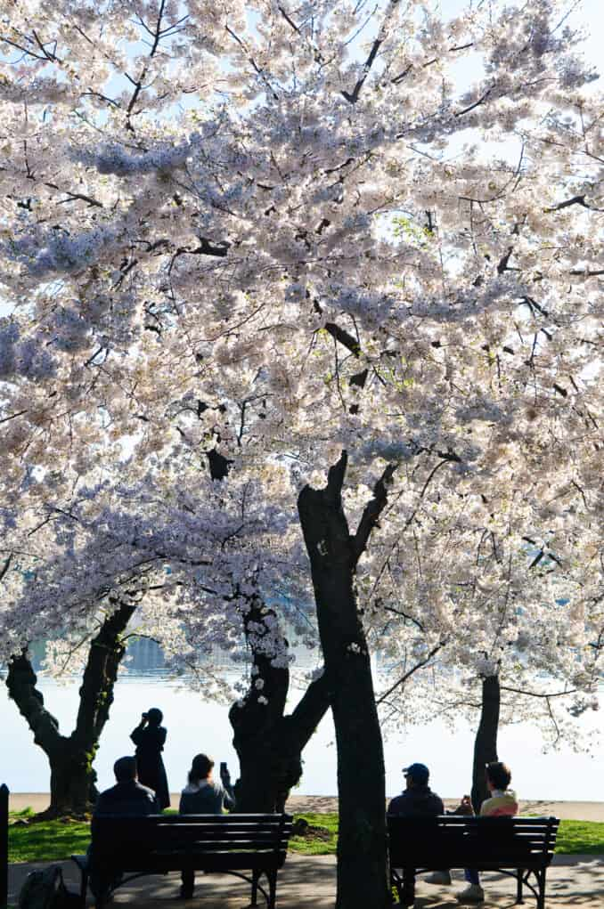 Tourists and Washington Cherry Blossoms