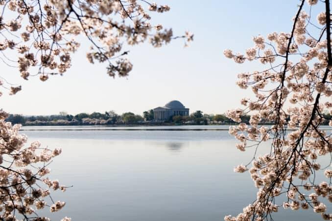 Washington Cherry Blossoms Jefferson Memorial