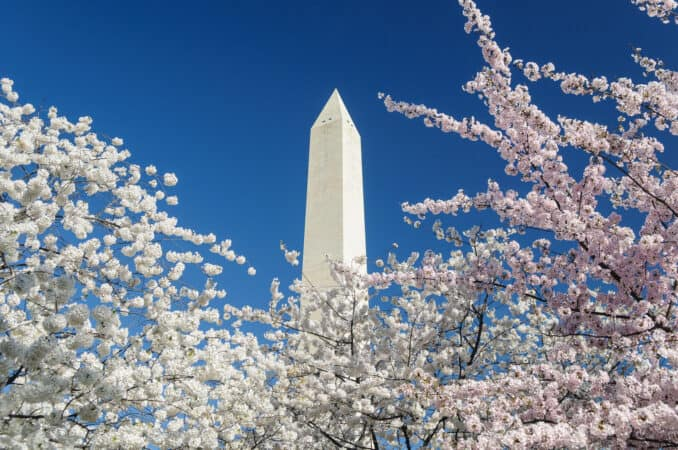 Cherry Blossoms with the Washington Monument