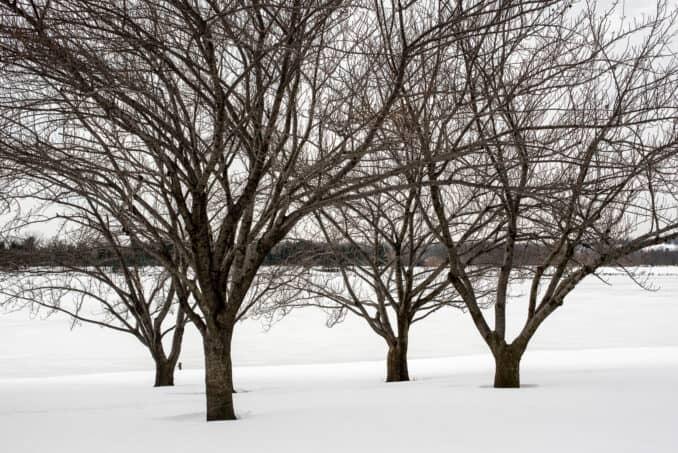 Washington DC Cherry Blossoms - January 26, 2016