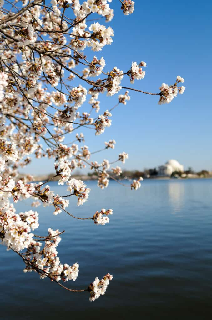 Cherry Blossoms and the Tidal Basin Water