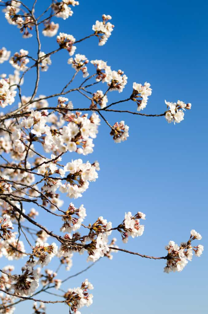 Cherry Blossom Flowers Against a Clear Blue Sky