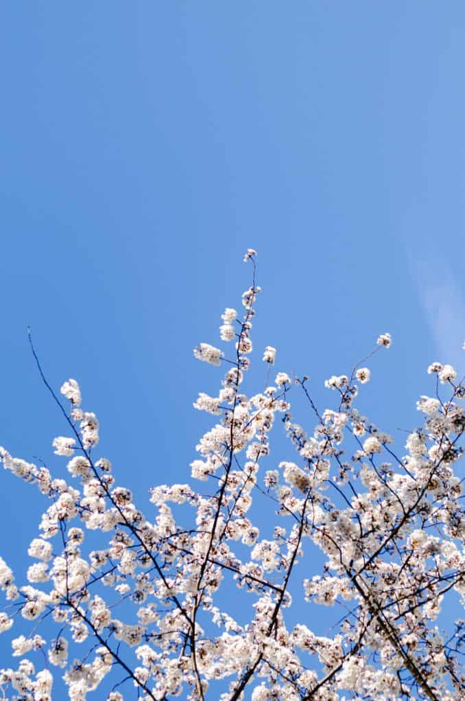 Cherry Blossom Flowers, Blue Sky, and Copyspace