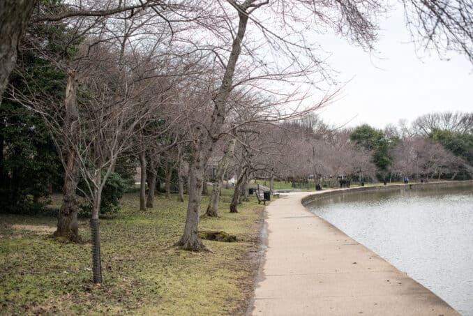 Washington DC Cherry Blossoms Walkway - February 7, 2016
