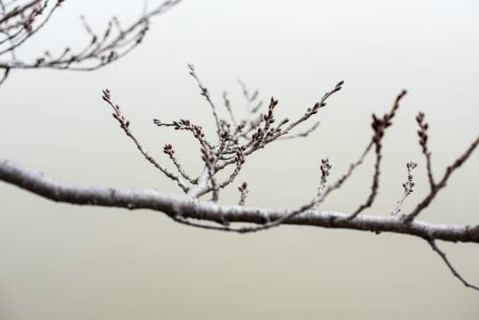 Washington DC Cherry Blossoms Branch and Buds - February 7, 2016