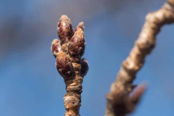 Washington DC Cherry Blossoms - February 28, 2016
