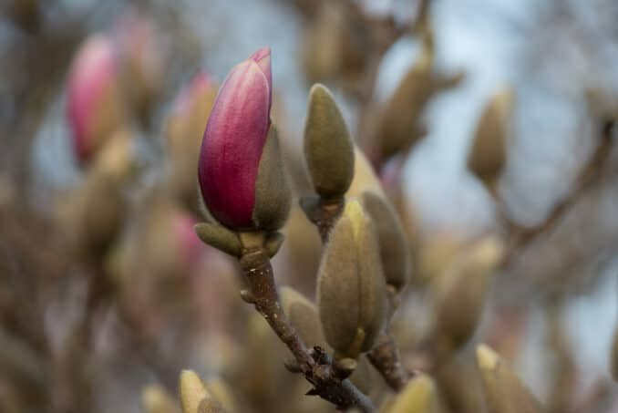 Tulip Magnolias - March 9, 2016