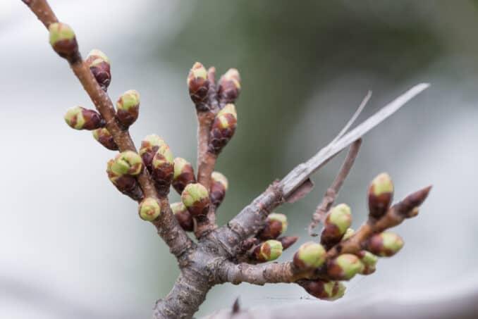 Washington DC Cherry Blossom Watch Update - March 11, 2016