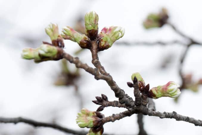 Indicator Tree - Washington DC Cherry Blossoms - March 14, 2016