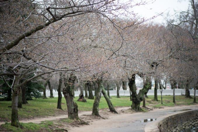 Washington DC Cherry Blossoms - March 14, 2016