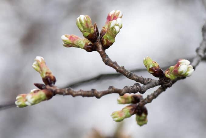 Washington DC Cherry Blossoms - March 15, 2016 - Indicator Tree