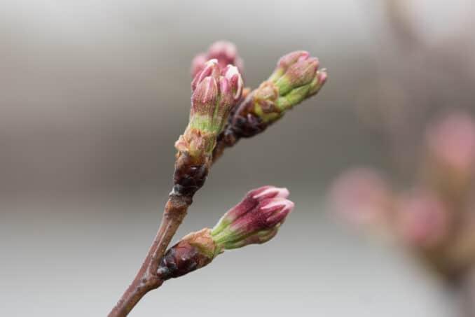Washington DC Cherry Blossoms - March 15, 2016