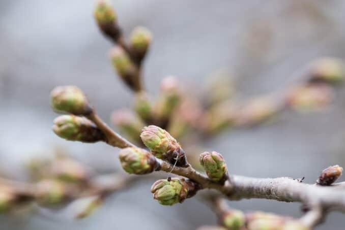 Washington DC Cherry Blossoms - March 15, 2016 - Single Tree Example
