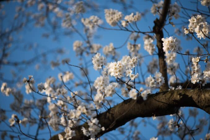 Indicator Tree - Washington DC Cherry Blossoms - March 17, 2016