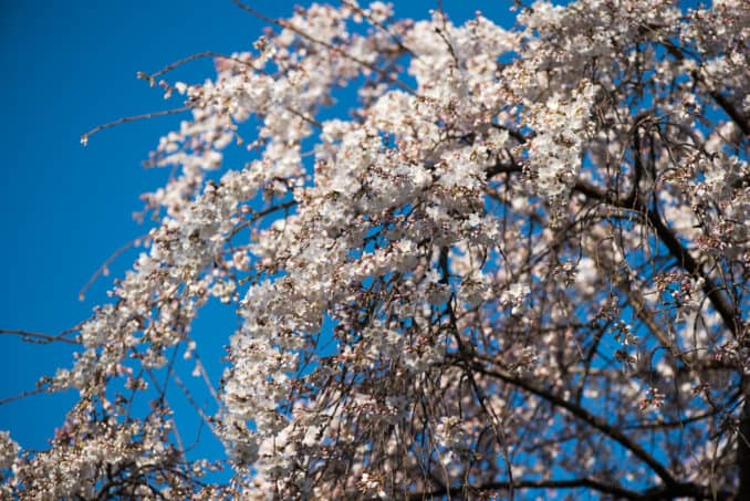 Washington DC Cherry Blossoms - March 17, 2016