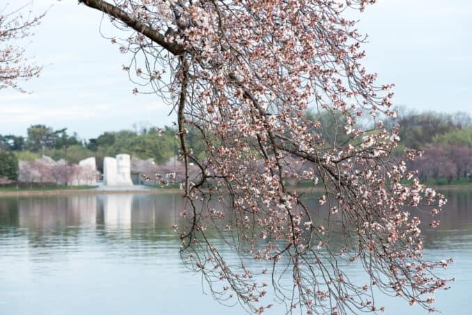 Washington DC Cherry Blossoms - March 22, 2016
