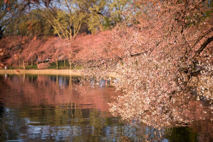 Washington DC Cherry Blossoms - March 22, 2016