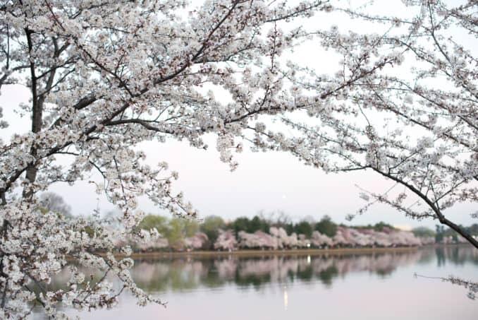 Washington DC Cherry Blossoms - March 24, 2016