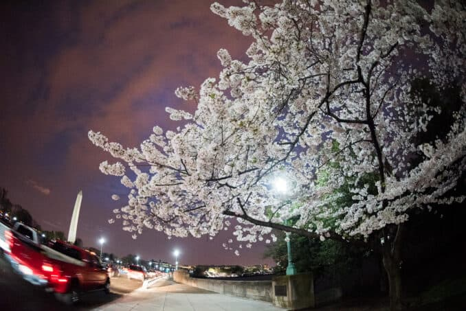 Washington DC Cherry Blossoms - March 25, 2016