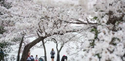 NPS Says Cherry Blossoms Reached Peak Bloom Today