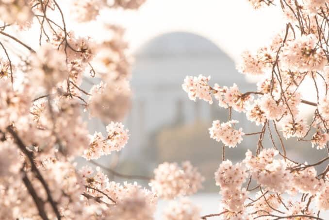 Washington DC Cherry Blossoms - March 26, 2016