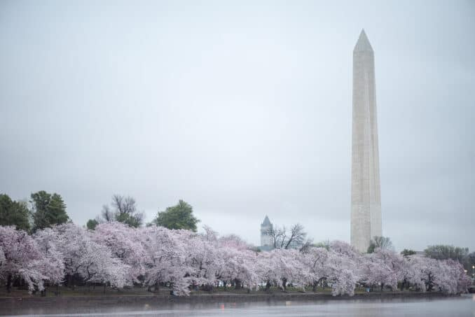 Washington DC Cherry Blossoms - March 28, 2016