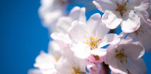 Cherry Blossom Watch Update: March 30, 2016