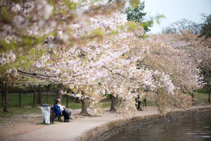 Washington DC Cherry Blossoms - April 1, 2016