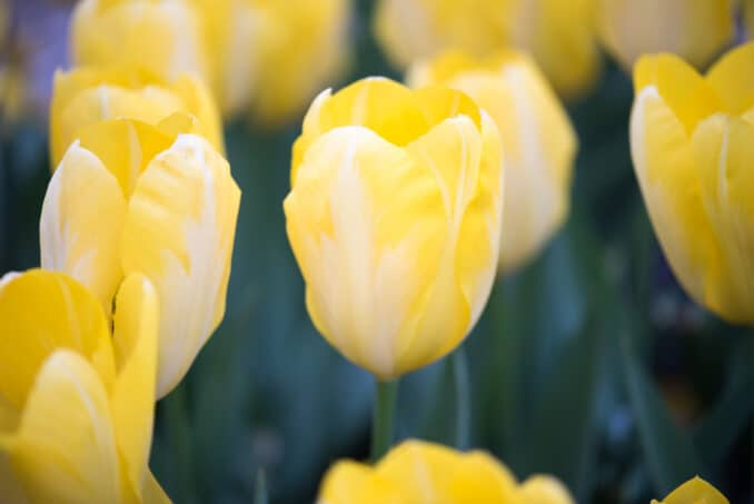 Tulips at the Floral Library - April 1, 2016