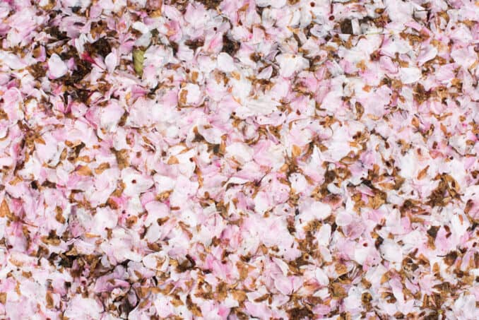 Washington DC Cherry Blossom Petals - April 2, 2016