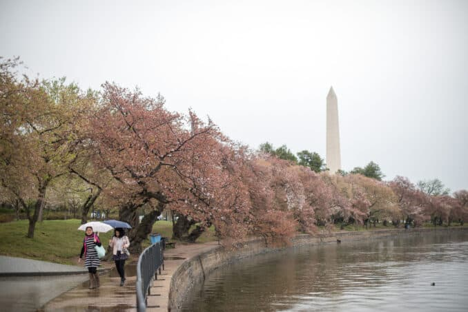 Washington DC Cherry Blossoms - April 2, 2016