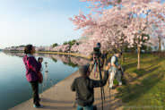 Photographers Taking Photos of Cherry Blossoms in Washington DC
