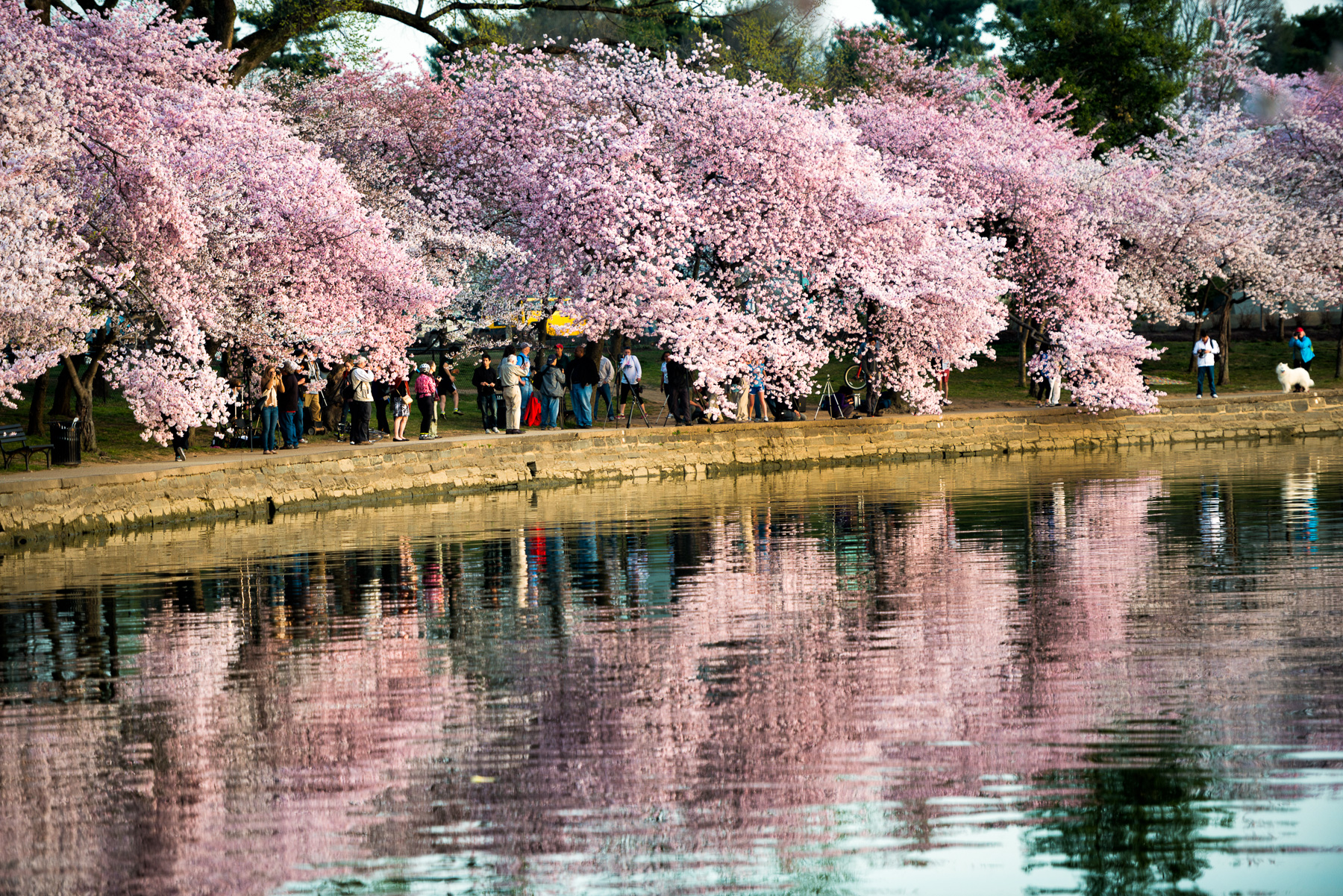 Washington Dc Flowering Cherry Trees - Flowers Healthy